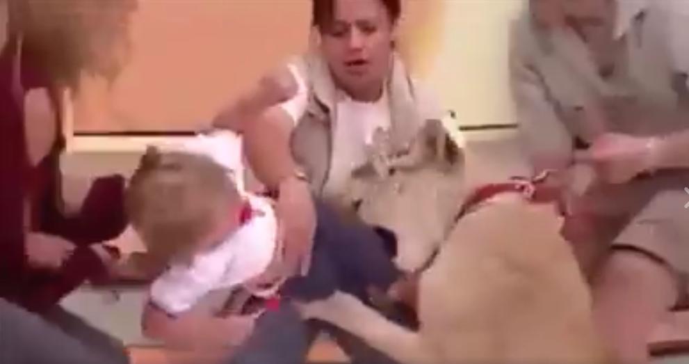فيديو أسد كاد ينهش طفلة في الأستوديو أمام الكامرات