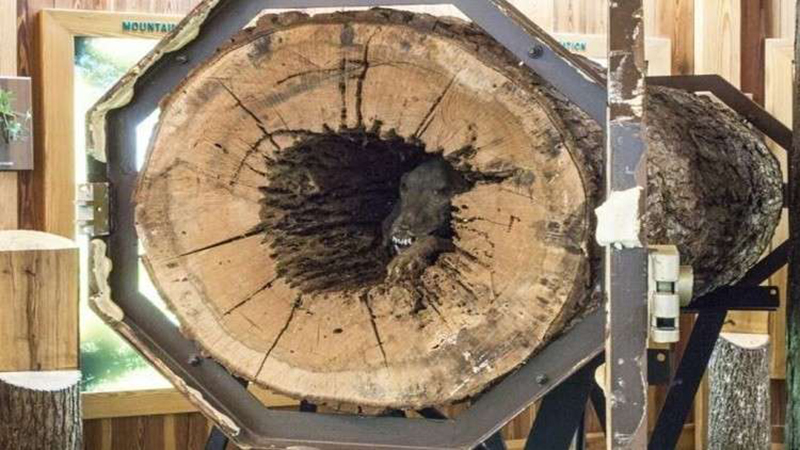 إكتشاف كلب محنط داخل شجرة يدهش العلماء