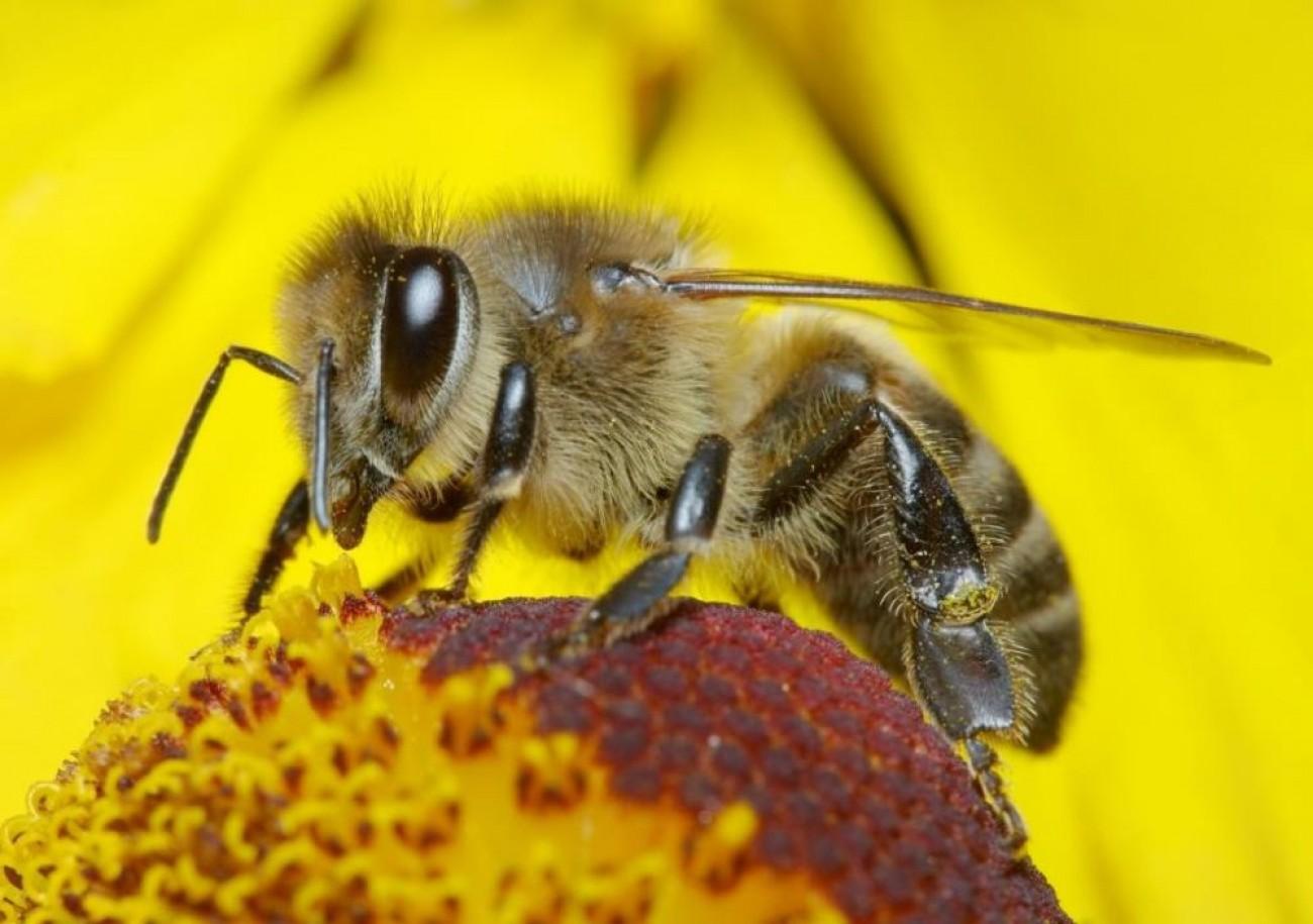 الاتحاد الأوروبي يحظر استخدام مبيدات تهدد النحل