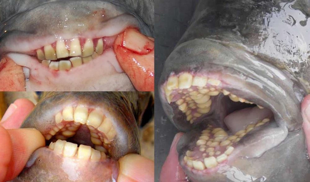 الباكو.. أسماك غريبة تمتلك أسنان كالبشر Pacu fish