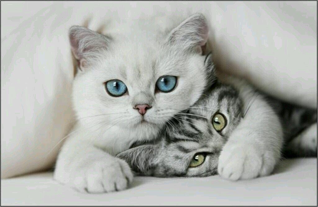 ماالسبب في الحساسية الناجمة عن القطط ؟