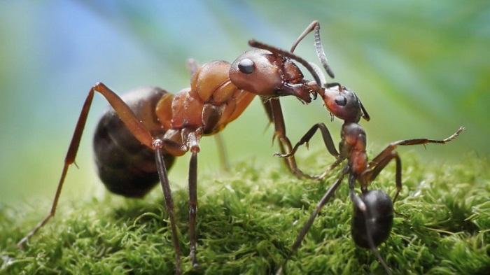 هل سمعت عن النمل الانتحاري؟
