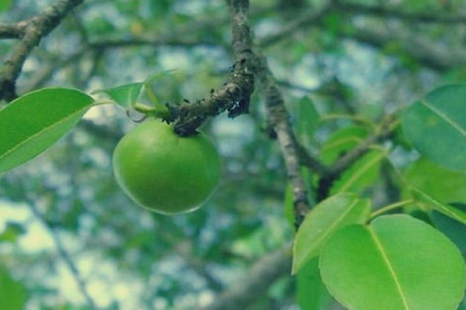 تعرف على أخطر شجرة في العالم.. حتى ظلها سام (2)