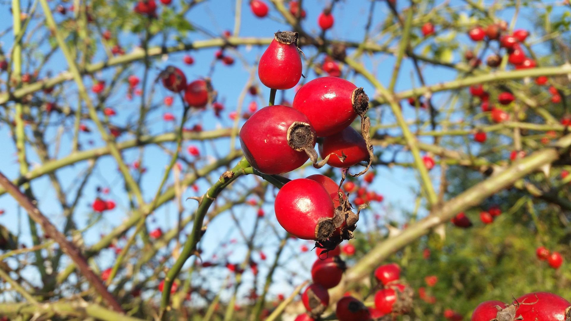 ماعلاقة ثمرة الورد المسكي بالدهون ؟