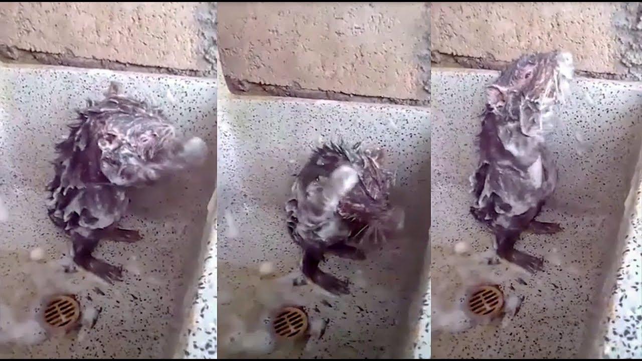 حقيقة الفأر الذي يسحم بالماء والصابون!