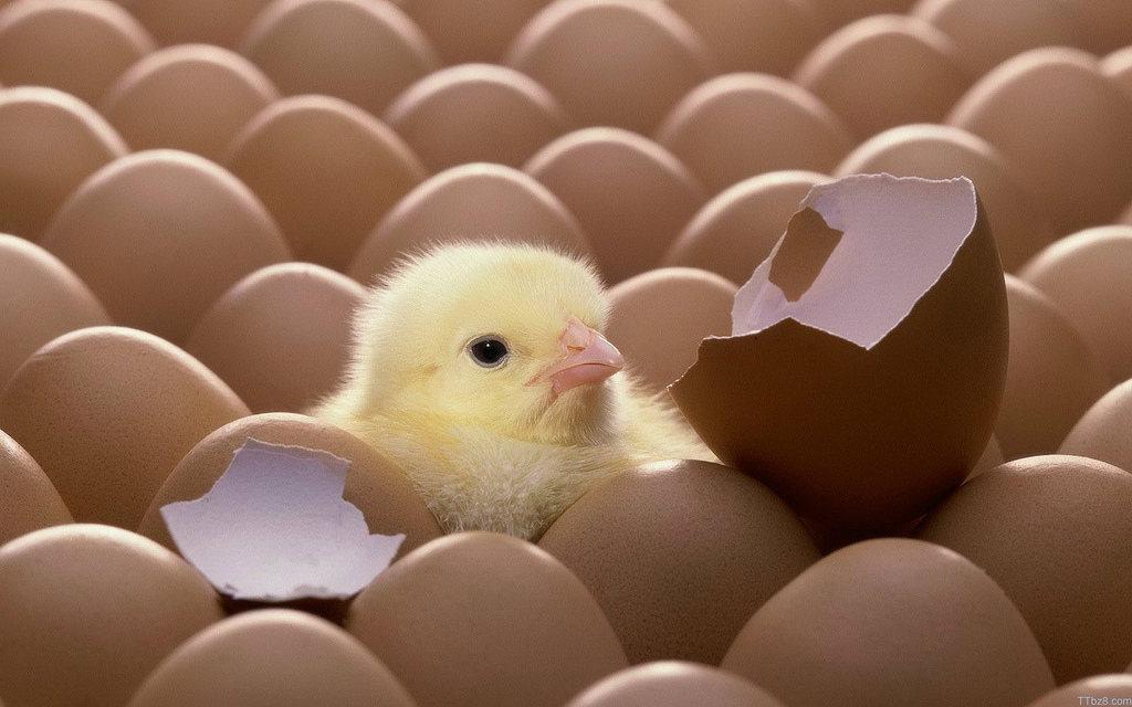 كيف تتمكن الفراخ من تحطيم قشر البيضة؟