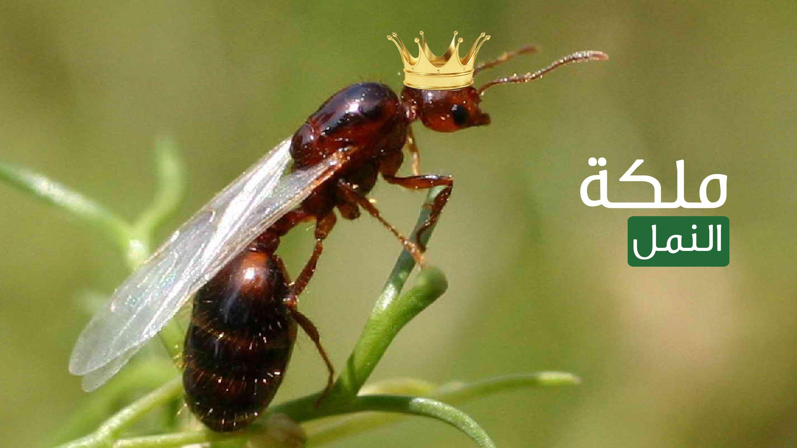لماذا يموت النمل بعد موت ملكة النمل ؟