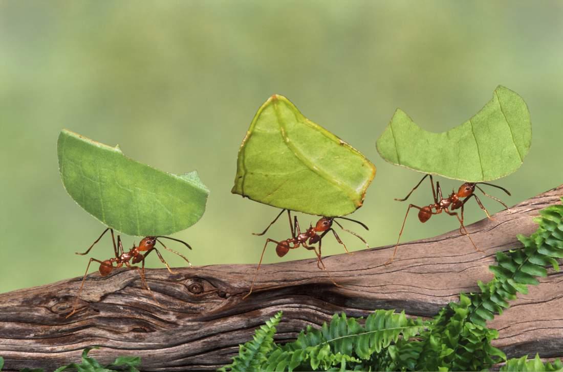 ما السر وراء سير النمل في خط مستقيم؟