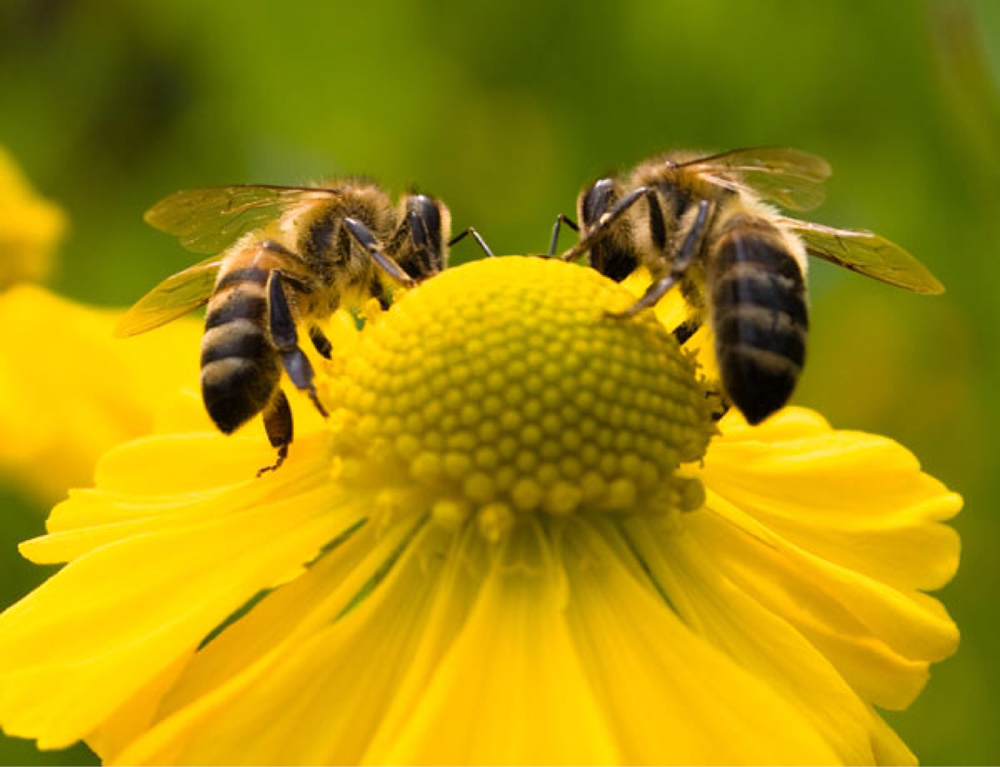 هذا مايحدث عند إدخال النحل في مناطق غريبة عنها!