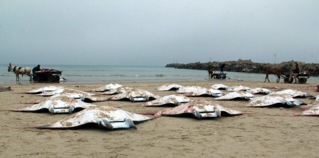 """انتشار كبير لأسماك """"وطواط البحر"""" على شواطئ غزة"""